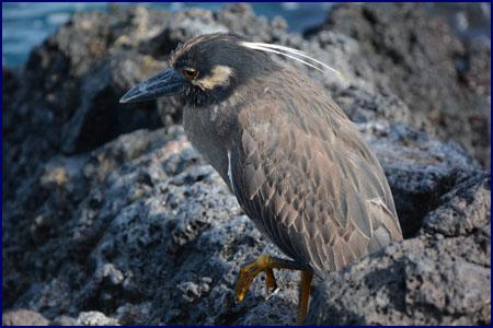 Equateur galapagos ile santiago et bartholome for Houpette oiseau